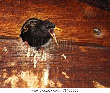 Starling Defending Nest