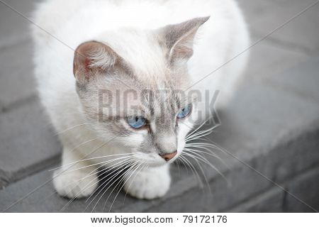Felino blanco