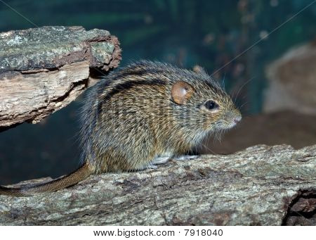 The African Striped Grass Mouse ( Lemniscomys Barbarus ).