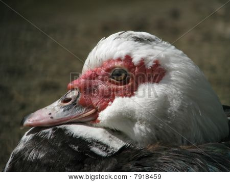 Profile of the muscovy