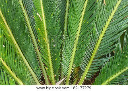 Close-up Of Leaves Cycas Circinalis L.