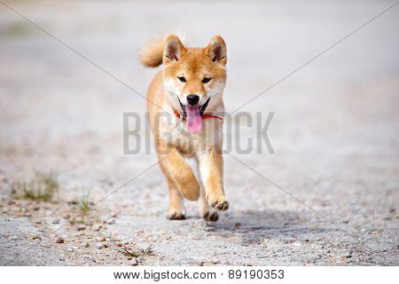 playful shiba-inu puppy outdoors