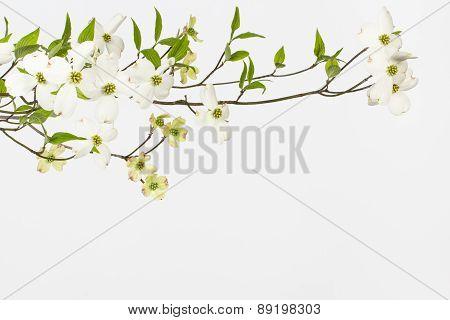 Wild Flowering White Dogwoods