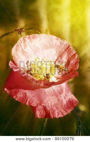 Bee On Poppies, Sun