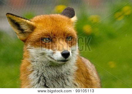 Isolated Red Fox