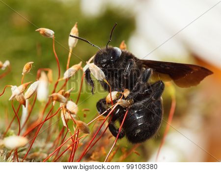 Indian Bhanvra (european Carpenter Bee) Climb On Moss