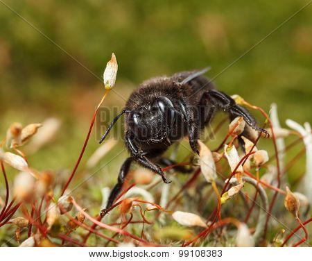 Black Carpenter Bee In Moss