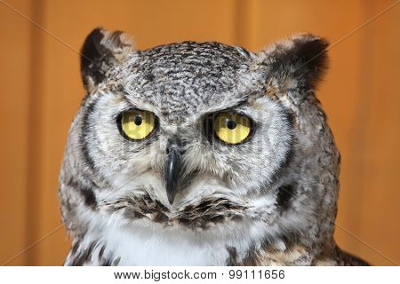 Great horned owl (Bubo virginianus), also known as the tiger owl. Wild life animal.