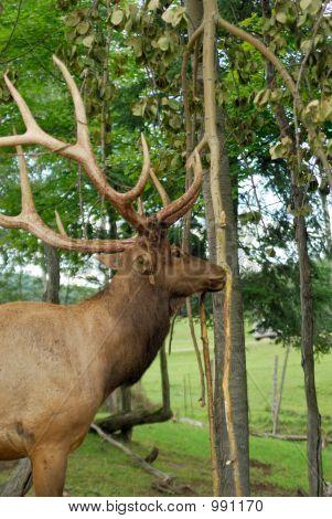 Elk americano o Wapiti
