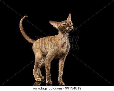 Peterbald Sphynx Cat Curiosity Looking Up On Black
