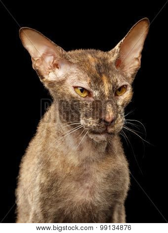 Closeup Angry Peterbald Sphynx Cat On Black