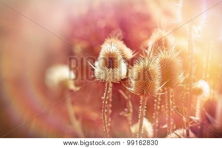 Thistle field (burdock)