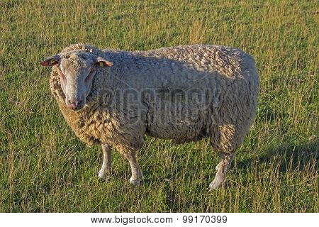 Sheep from the side in a meadow