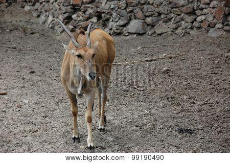 Antelope Eland