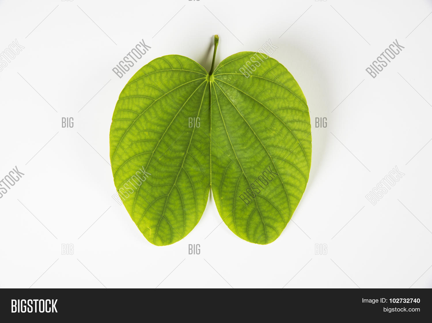 Indian festival dussehra showing image photo bigstock indian festival dussehra showing golden leaf or bauhinia racemosa leaf greeting card kristyandbryce Images