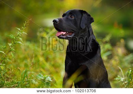 Black Labrador Sitting In The Grass