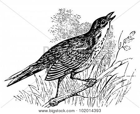 Old engraved illustration of a Saltmarsh sharp-tailed sparrow or Ammodramus caudacutus, singing while perched on a branch. Live traced.
