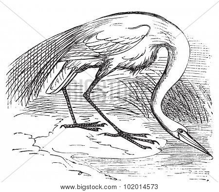Engraving of a White Heron or egret (Ardea egretta). Old vintage engraved illustration of the great white egret or heron in his environment.