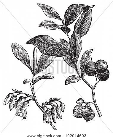 Huckleberry or Gaylussacia resinosa engravin. Old vintage engraved illustration of huckleberry plant. The huckleberry is the state fruit of Idaho.