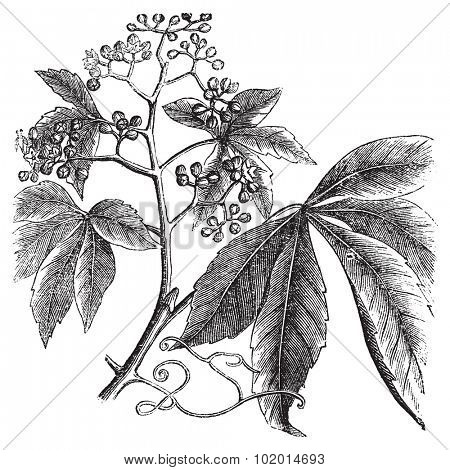 Virginia Creeper, Ampelopsis or  Parthenocissus Quinquefolia, American Ivy, Woodbine, False Grape, Five-leaved ivy or five-finger vintage engraving. Vector, isolated cut-out.