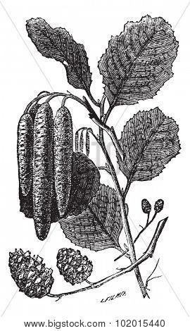 Alder or Alnus sp., vintage engraving. Old engraved illustration of an Alder plant showing the longer male catkins (center) and shorter female catkins (bottom). poster