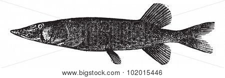 Detailed vintage engraving of Chain pickerel (Esox reticulatus or Esox niger ), isolated on white.