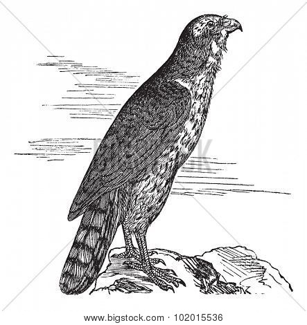 The Goshawk, round, hawk, kestrel, Accipitridae, or Accipiter gentilis. Vintage engraving. Old engraved illustration of a Northern Goshawk found mostly in Morocco.