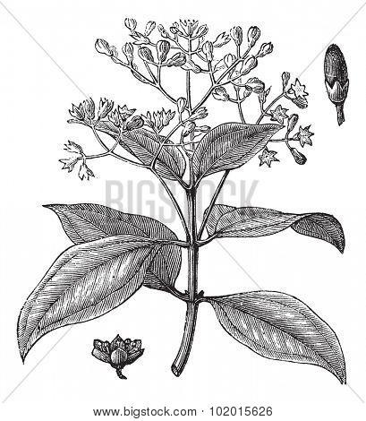 Cinnamomum verum, ceylon cinnamon, Sri Lanka cinnamon or True cinnamon vintage engraving. Old engraved illustration of Cinnamon stalk with flowers and bud.