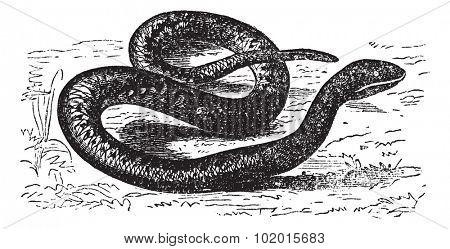 Vipera Aspis,or  European Viper, Asp, Asp viper, European asp, Aspic viper. Vintage engraving. Old engraved illustration of an European Viper is a venomous viper species found in southwestern Europe.
