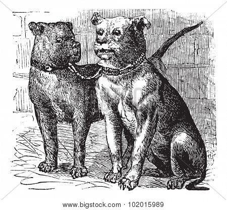 Bulldog or English Bulldog or British Bulldog or Canis lupus familiaris, vintage engraving. Old engraved illustration of Bulldog.