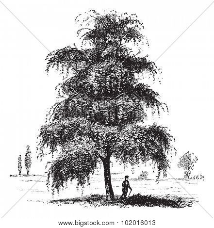 Birch tree vintage engraving. Old engraved illustration of Birch tree with a man standing under it.
