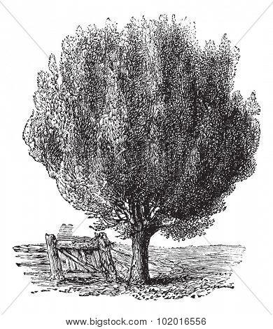 Box, boxwood or Buxus tree vintage engraving. Old engraved illustration of a Boxwood tree near a fence. Trousset encyclopedia