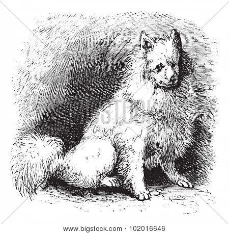 Husky or Canis lupus familiaris, vintage engraving. Old engraved illustration of Husky. Trousset encyclopedia. poster
