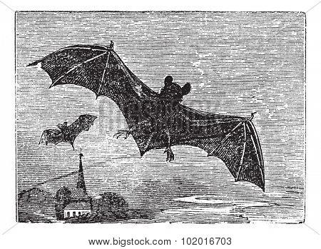 Common Bat or Vesper Bat or Evening Bat or Vespertilionidae, vintage engraving. Old engraved illustration of a Vesper Bat in flight. Trousset encyclopedia.