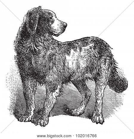 Newfoundland or Canis lupus familiaris, vintage engraving. Old engraved illustration of a Newfoundland. Trousset encyclopedia.