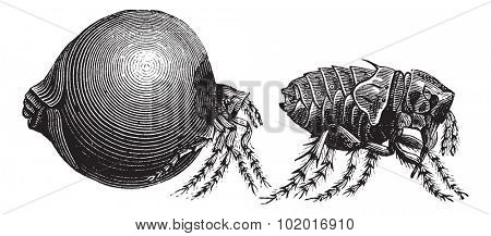 Tick, vintage engraving. Old engraved illustration of a Tick showing female tick (left) and male tick (right). Trousset Encyclopedia