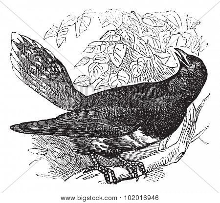 Common Cuckoo or Cuculus canorus, vintage engraving. Old engraved illustration of a common Cuckoo. Trousset Encyclopedia