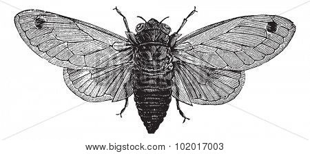 Seventeen-Year Cicada or Magicicada sp., vintage engraving. Old engraved illustration of a Seventeen-Year Cicada. Trousset Encyclopedia