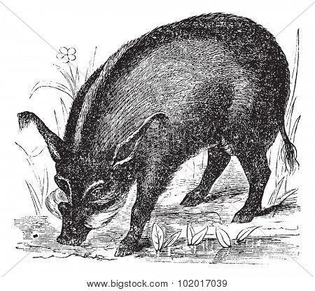 Warthog or Wart-hog or African Lens-Pig or Phacochoerus africanus, vintage engraving. Old engraved illustration of a Warthog. Trousset Encyclopedia.