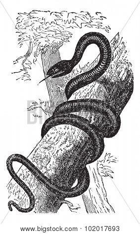 Eastern Racer or Coluber constrictor, vintage engraving. Old engraved illustration of an Eastern Racer. Trousset Encyclopedia