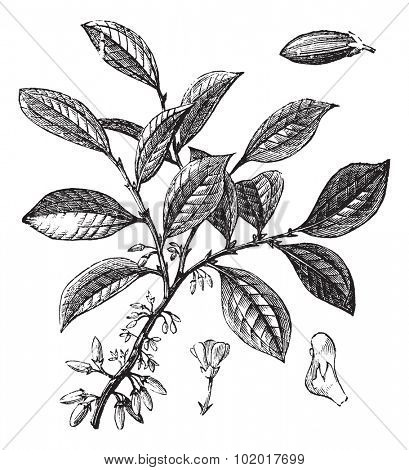 Cocaine or Coca or Erythroxylum coca, vintage engraving. Old engraved illustration of a Cocaine plant showing flowers. Trousset Encyclopedia poster