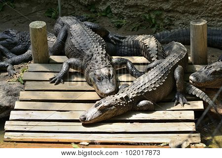 Group of lazy gators on a dock. poster