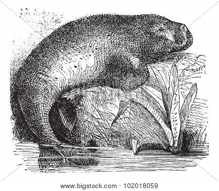 Sea Cow or Dugong or Dugong dugon, vintage engraving. Old engraved illustration of a Sea Cow. Trousset Encyclopedia