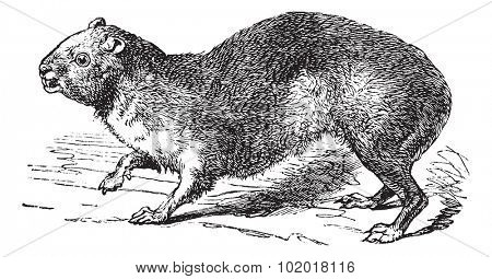 Rock Hyrax or Cape Hyrax or Procavia capensis, vintage engraving. Old engraved illustration of a Rock Hyrax.