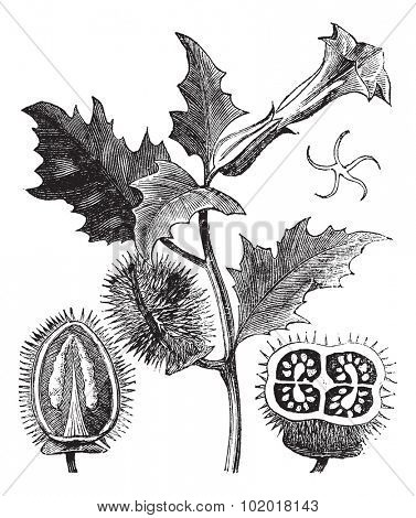 Thorn Apple or Jimson Weed or Datura stramonium, vintage engraving. Old engraved illustration of Thorn Apple plant showing flowers (top) and seed capsules (bottom left and right) Trousset Encyclopedia