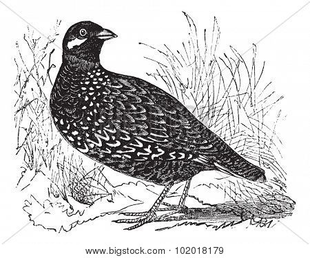 Black Francolin also known as  Francolinus francolinus,  gamebird,  vintage engraved illustration of Black Francolin. Trousset Encyclopedia