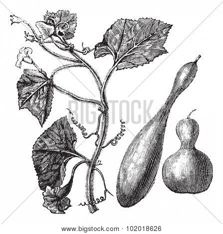 Calabash or Lagenaria vulgaris or Lagenaria siceraria or Bottle gourd or Opo squash or Long melon, vintage engraving. Old engraved illustration of Calabash, isolated on a white background. Trousset