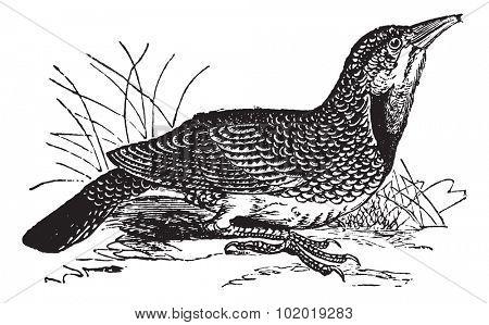 Eastern Meadowlark or Sturnella magna, vintage engraving. Old engraved illustration of an Eastern Meadowlark. Trousset Encyclopedia