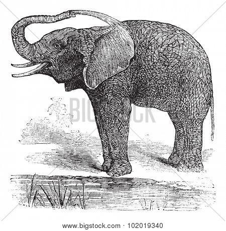 African Bush Elephant or Loxodonta africana, vintage engraving. Old engraved illustration of African Bush Elephant. Trousset Encyclopedia