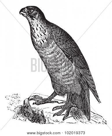 Peregrine Falcon or Falco peregrinus, vintage engraving. Old engraved illustration of a Peregrine Falcon. Trousset Encyclopedia